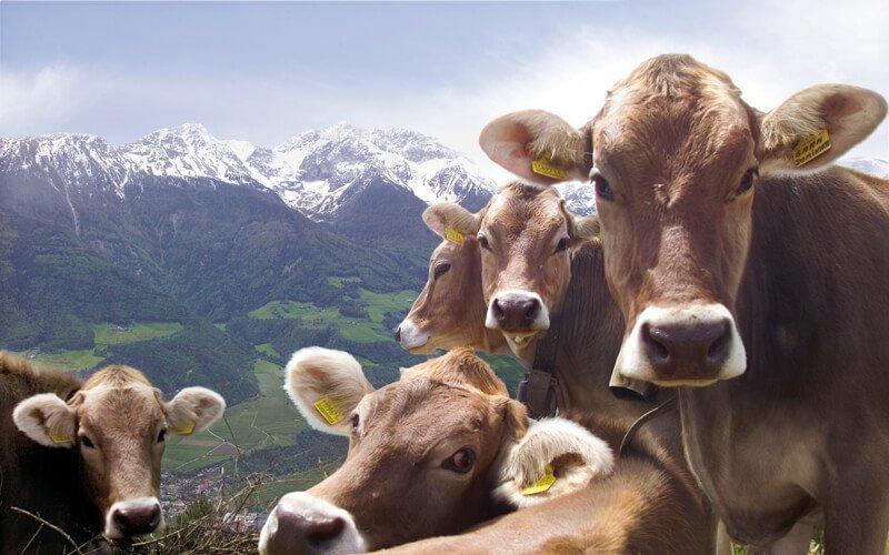 Rientro del bestiame dalle malghe (Ottobre)